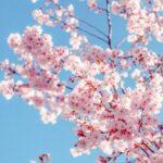 flor ametller